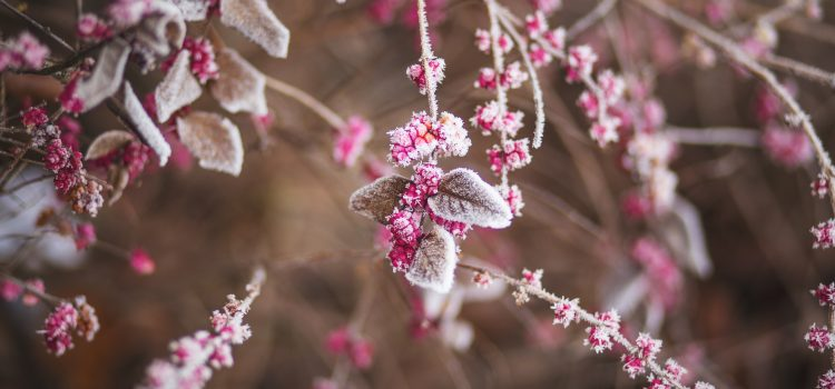 nature-branch-frozen-raspberries-22427