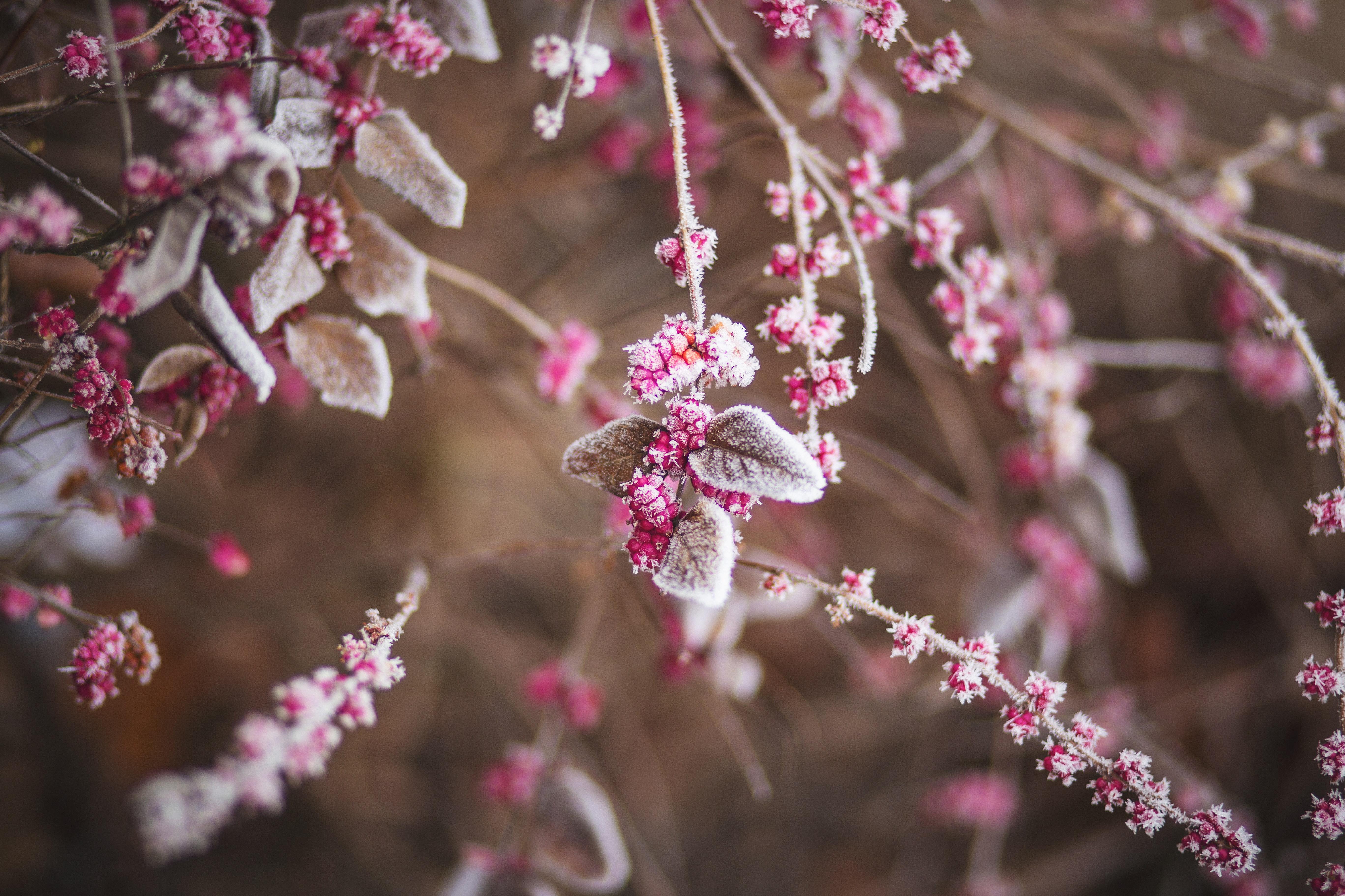 nature-branch-frozen-raspberries-22427
