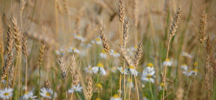 wheat-879217_1920